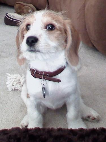 Lhasa Apso Beagle Mix Dog Beagles