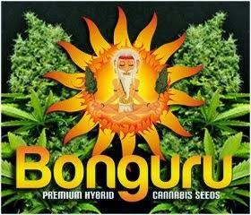 ↓↓ Bonguru Seeds ↓↓