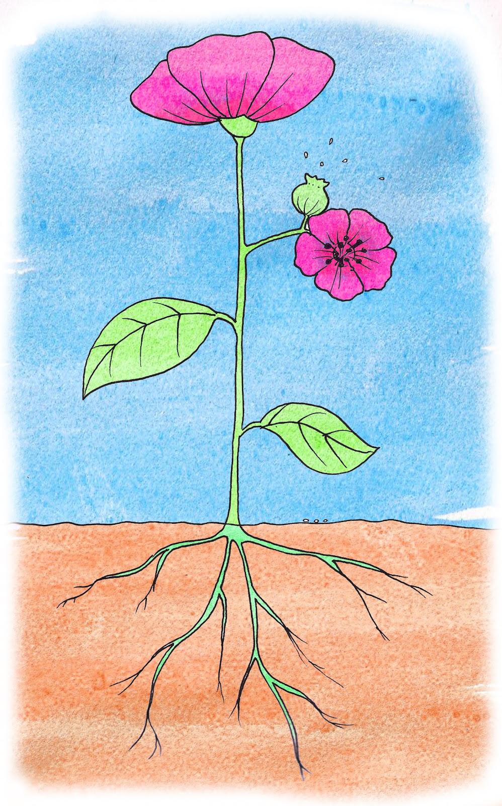 Flora (OR) United States  City pictures : Imágen para las pasrtes de la planta.... raíz, tallo, hoja, flor ...