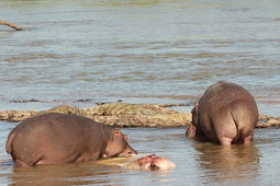 Pertama Kali Kuda Nil Kanibal Terekam Kamera