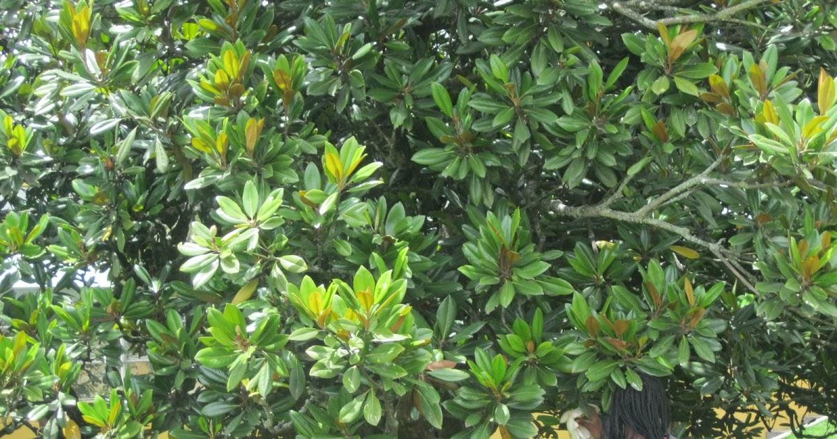 Herbario virtual magnolio - Magnolia grandiflora cuidados ...