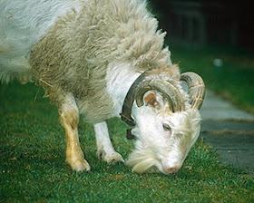 hybrid animal - sheep-goat