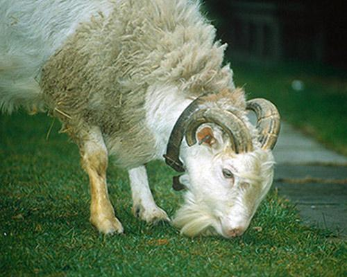 hybrid animal - sheep-goat