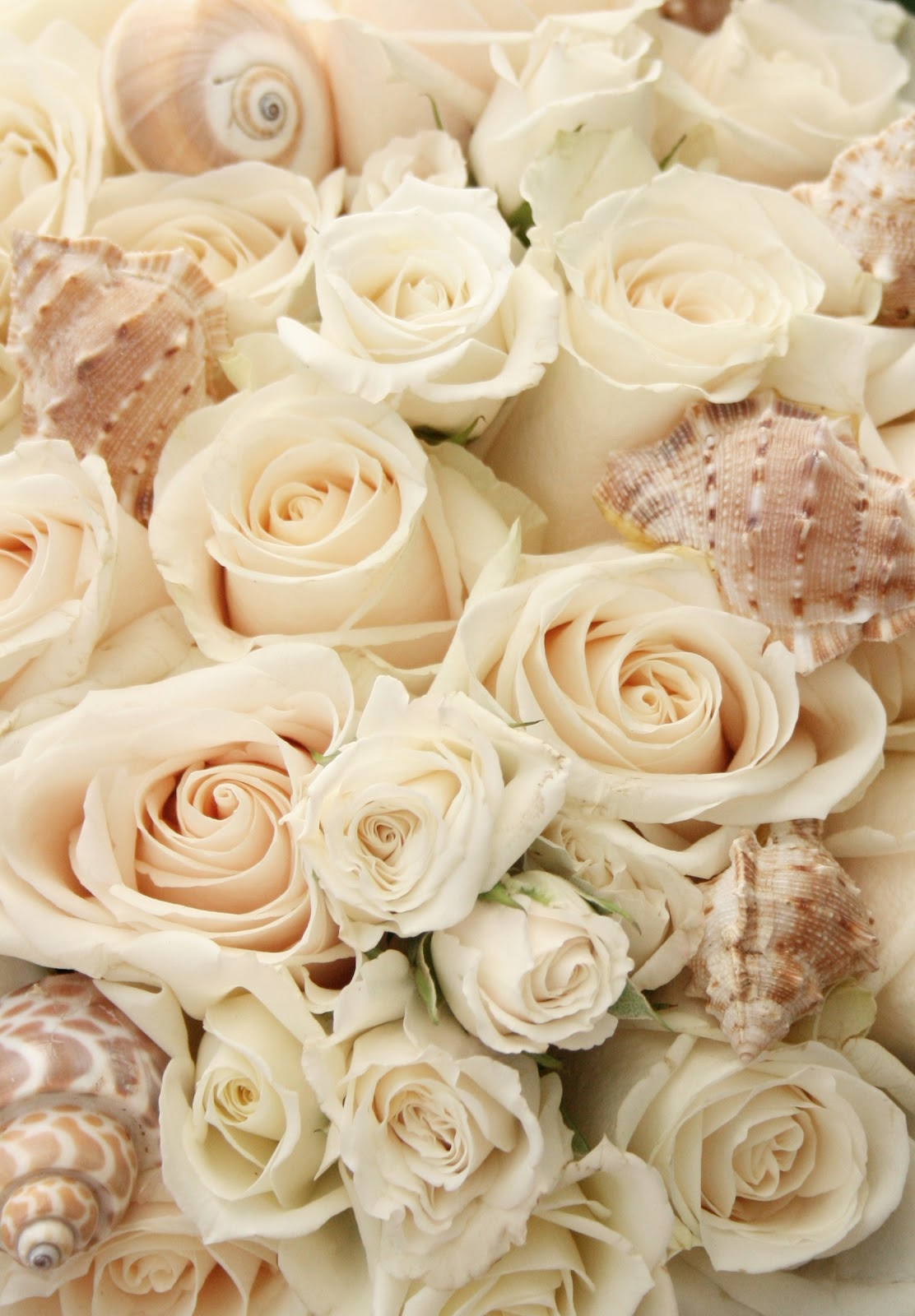 Beach house living beach and bridal shell bouquets for Cream rose wallpaper