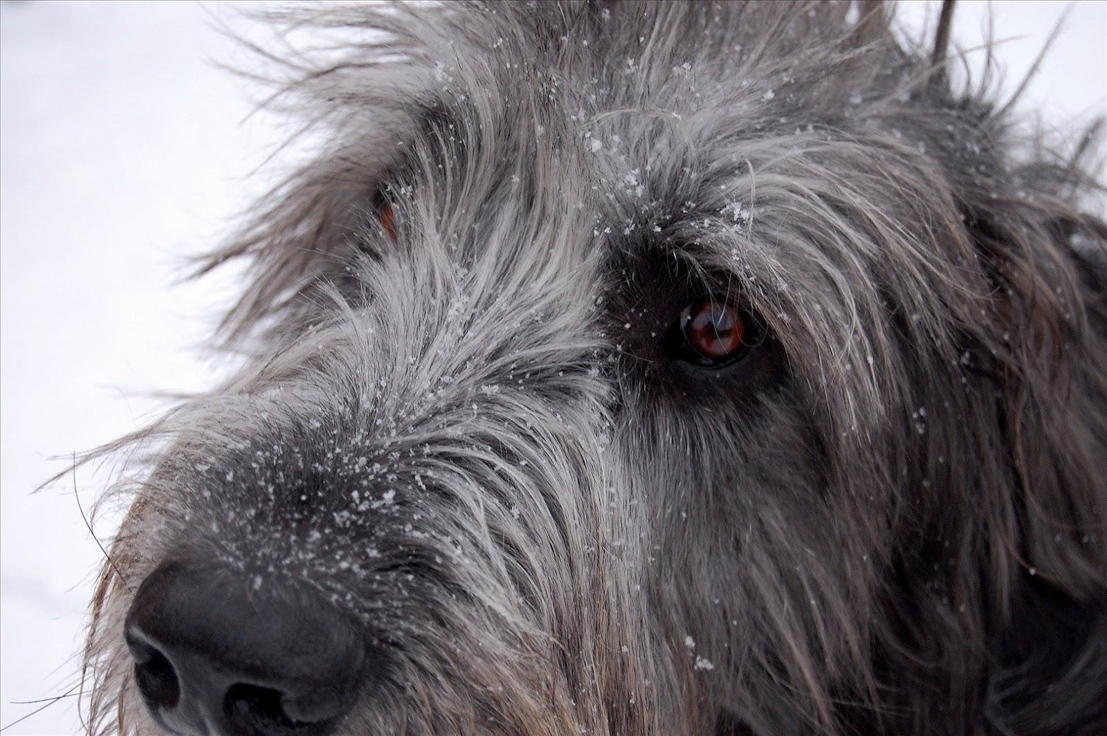 Irish History: Irish Wolfhounds