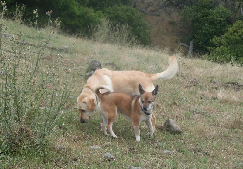cabana standing with her head bent low to sniff grass, with a tan shiba inu type dog standing in front of her