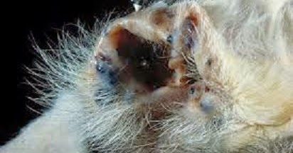 Pictures Of Sebaceous Cyst In Cats