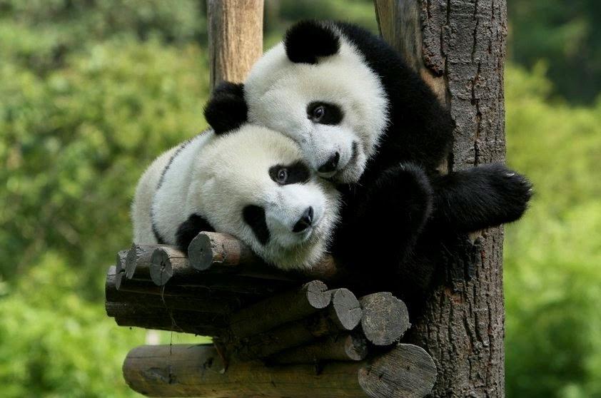 combater olheiras de urso panda