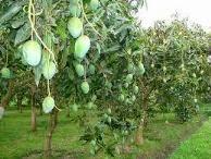 budidaya tanaman mangga, khasiat buah mangga, klasifikasi buah mangga, macam macam buah mangga, varietas buah mangga, mangga manis, budidaya buah mangga, penyakit tanaman mangga