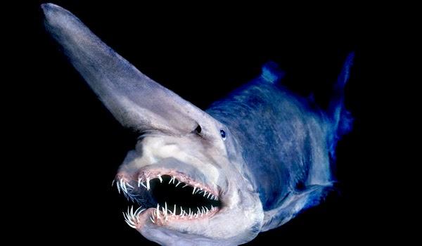 Image showing a goblin shark (Mitsukurina owstoni)