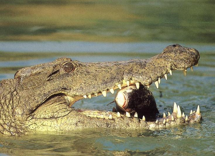 Nile Crocodile Nile Crocodile | The B...