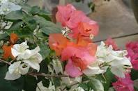 bunga bougenvil