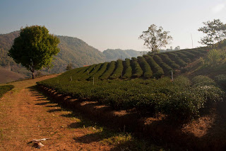Tea plantation in Doi Mae Salong