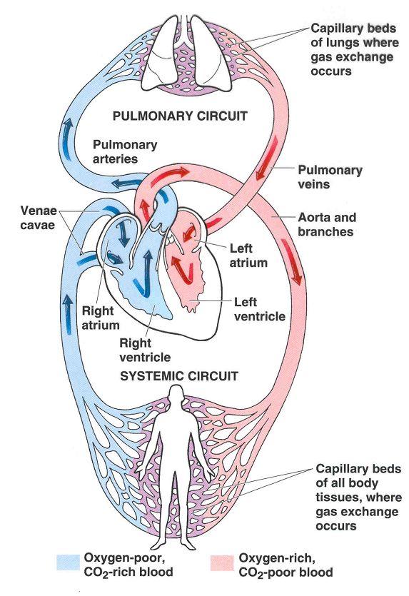 Notez On Nursing Circulation