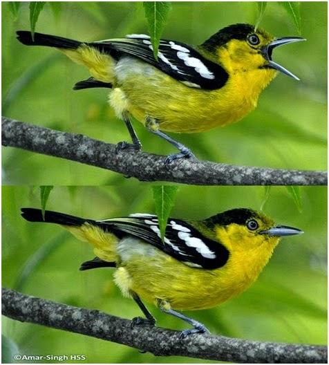 Burung Kicau Cipoh Kacat, Burung  Kicau Cipoh Jantung