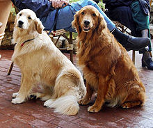 Golden Retriever Dog Pictures
