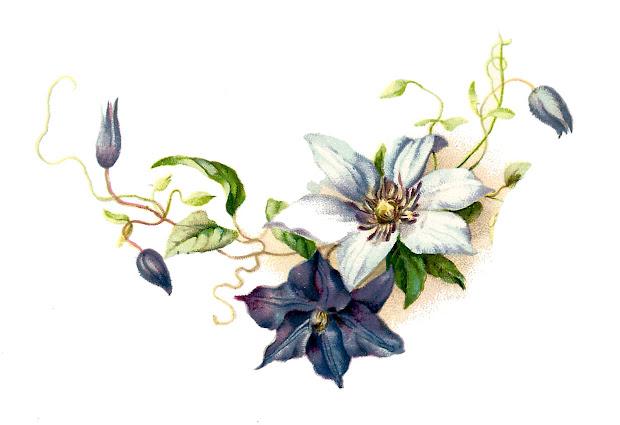 antique free clematis flower