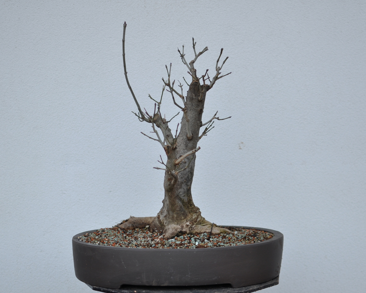 Maros Bonsai Blog Fraxinus In New Pot