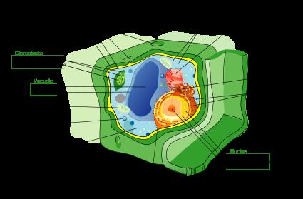 La cellula vegetale consiste di una parete cellulare e di un