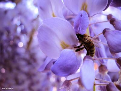 Πασχαλιά-μέλισσες