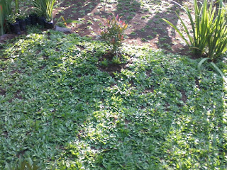 rumput gajah mini,cara menanam rumput gajah mini