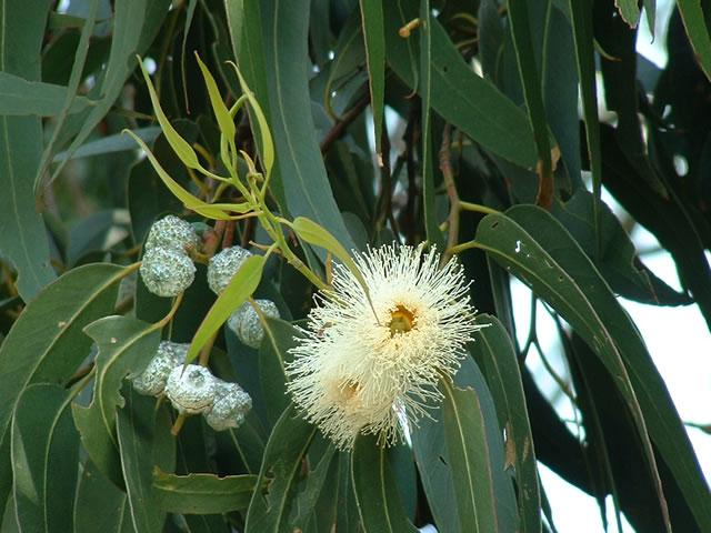 Todo sobre el eucalipto - Informacion sobre el eucalipto ...