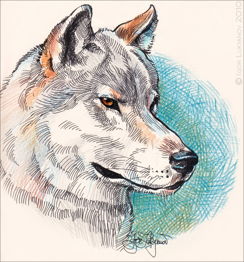 The wolf drawing is made with a pen and color pencils