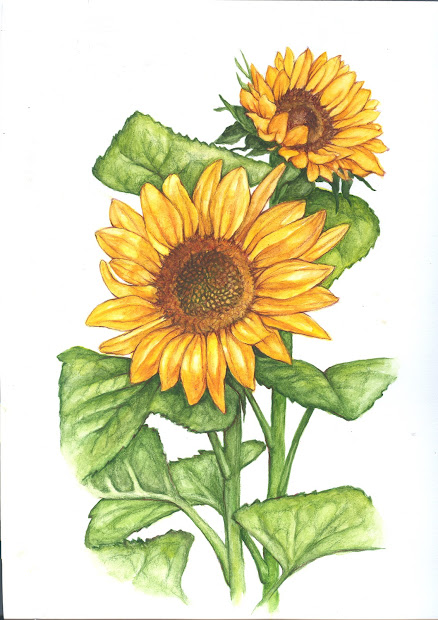 sunflower botanical illustration