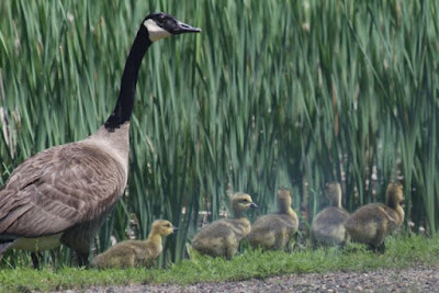 Canada goose and goslings, June 2014