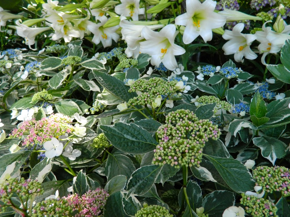Variegated Lacecap hydrangea macrophylla 'Mariesii' Easter lilies at Allan Gardens Conservatory 2014 Easter Flower Show