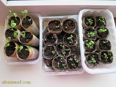 стаканчик, для рассады, из втулок, от, туалетной бумаги, горшочек для рассады, изготовление, как сделать, своими руками, аленин сад, посев, семян, мальва, наперстянка, рудбекия