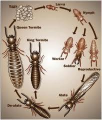 siklus hidup rayap