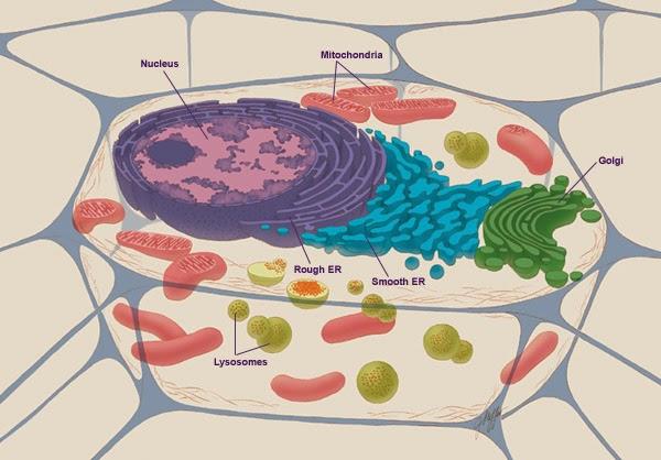 constituintes da célula animal