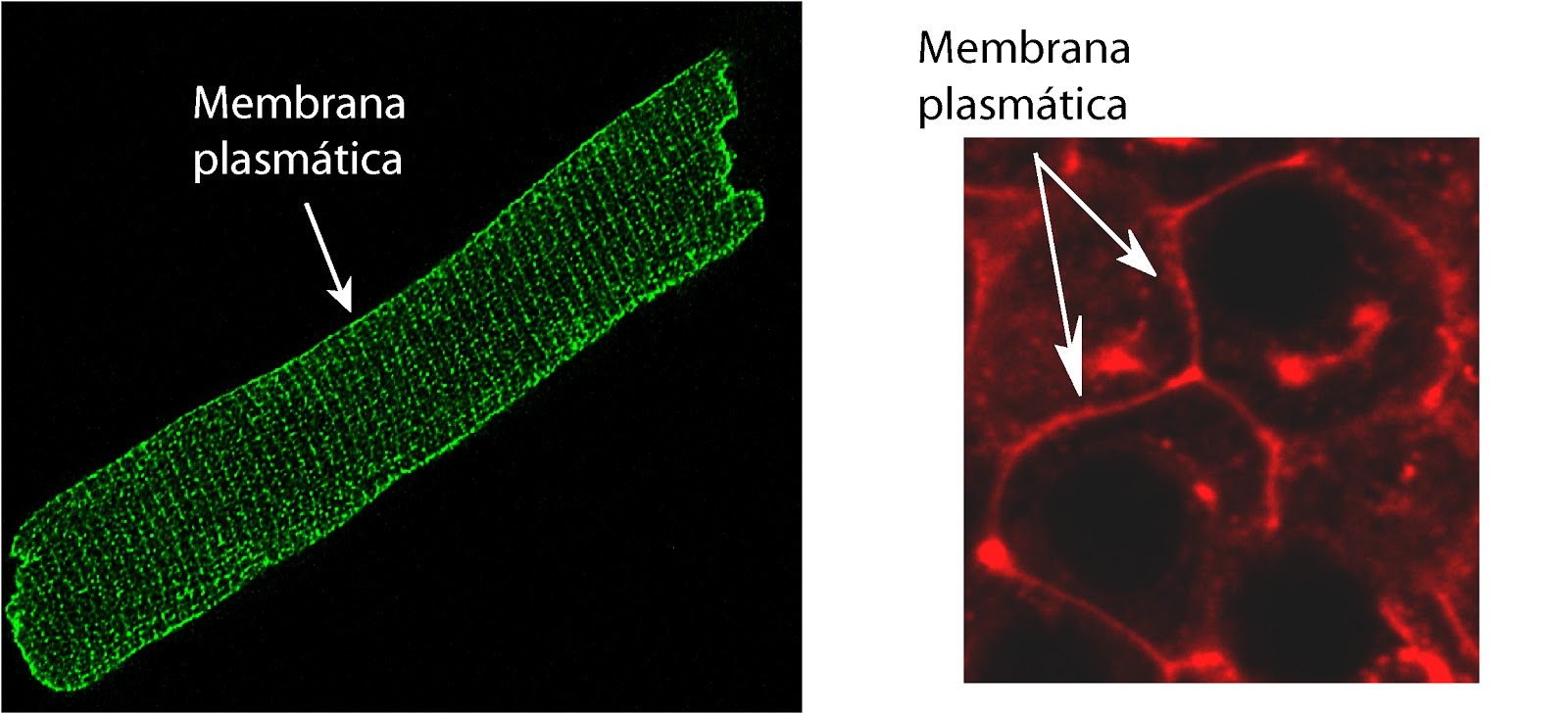 Célula del corazón y del páncreas con la membrana teñida