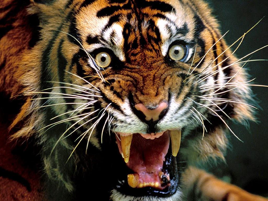1080 Wallpaper Hd Angry Tiger Wallpaper Hd