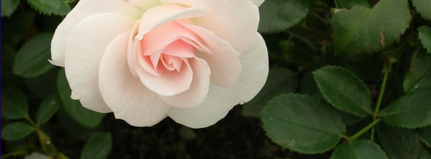 Ảnh bìa hoa hồng nhạt