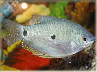 Three Spot Gourami Fish Pictures