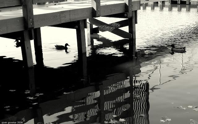 Ducks under the dock