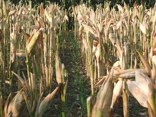 habis jagung terbitlah jagung