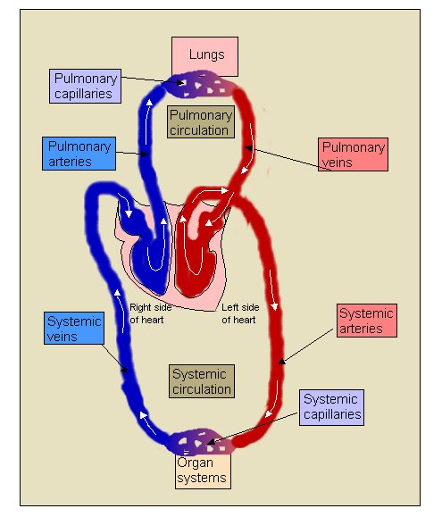 70 Structure And Function Of The Heart Biology Notes For Igcse 2014