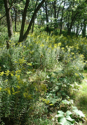 High Park goldenrods in bloom by garden muses: a Toronto gardening blog