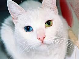 Heterocromia em gatos
