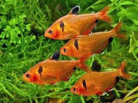 Small freshwater fish the serpae tetra freshwater fish for Small freshwater aquarium fish