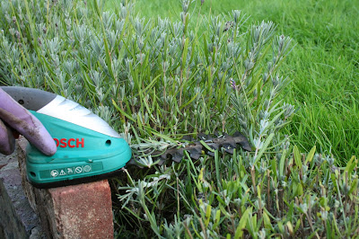 Pruning lavender at the same height using a brick and bosh trimmer