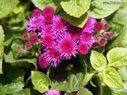 Ageratum Photo