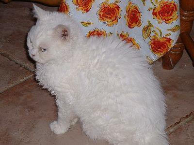 Foto Kucing Selkirk Rex