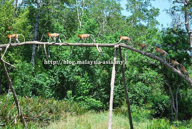 Family of Proboscis Monkeys