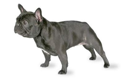 Giống Chó French Bulldog