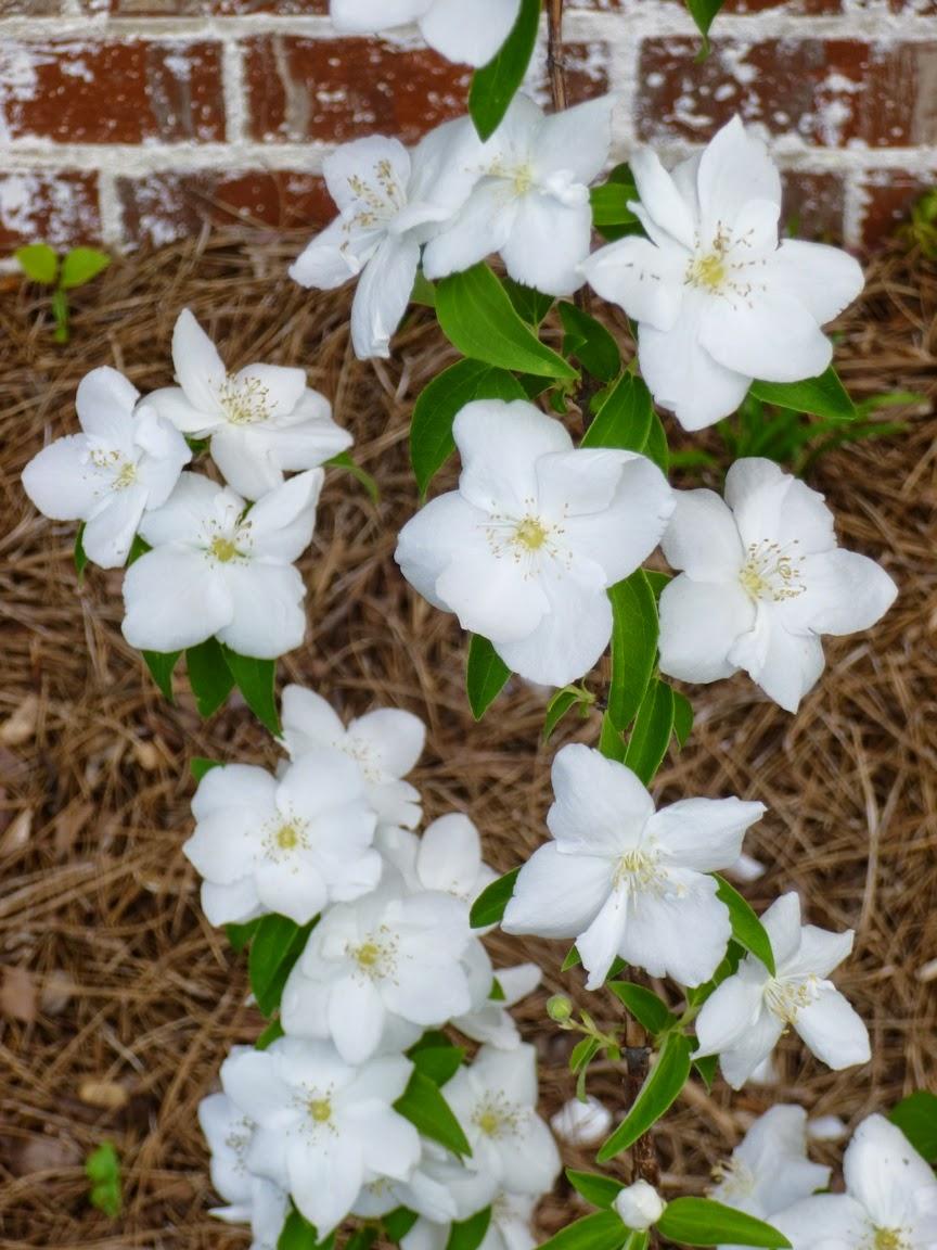 Close up on Natchez Mock Orange flowers, May 15, 2014