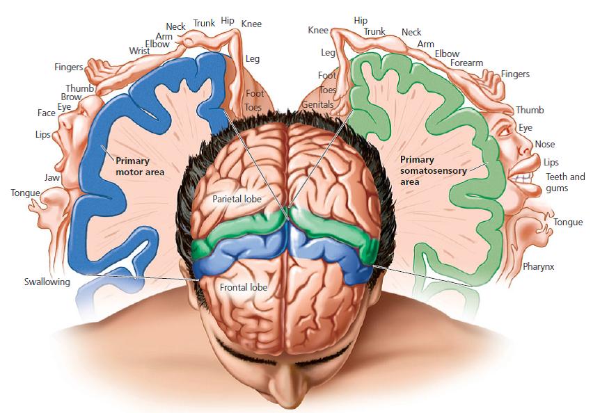 somatosensoriske